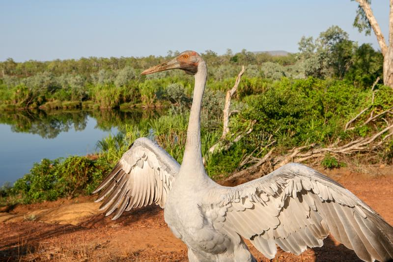 Brolga安提歌尼rubicunda,在起重机家庭舞蹈的一只鸟在澳大利亚的顶端的照相机的 图库摄影