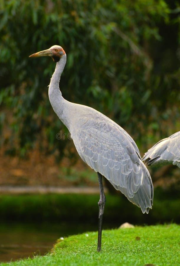 Download Brolga stock image. Image of wild, australia, bird, crane - 14724189