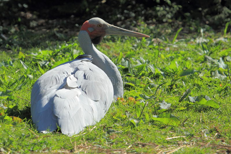 Download Brolga stock photo. Image of rubicunda, native, sitting - 25950472