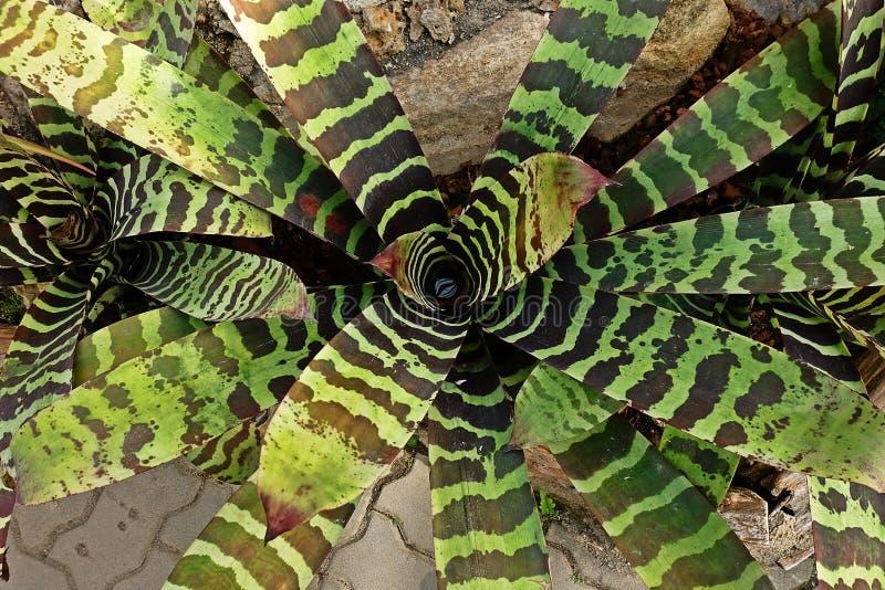 Bromélia, usines fleurissantes de monocot indigènes en Amériques tropicales image libre de droits