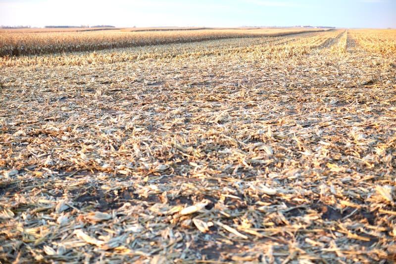 Bromee y stubble en un campo de maíz cosechado imágenes de archivo libres de regalías