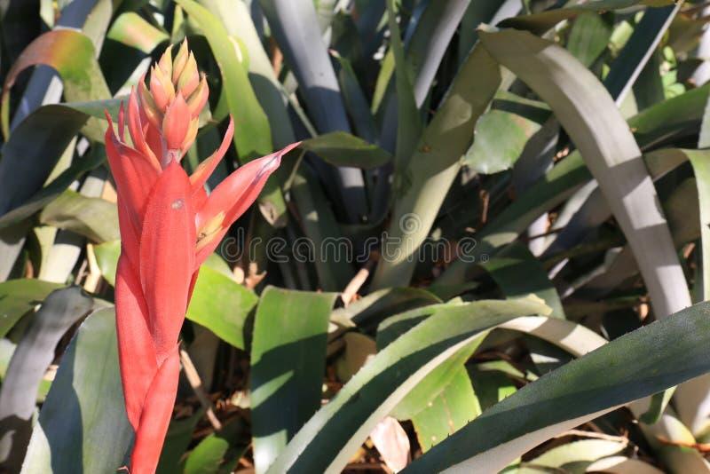 Bromeliácea cor-de-rosa Aechmea na flor na esquerda foto de stock