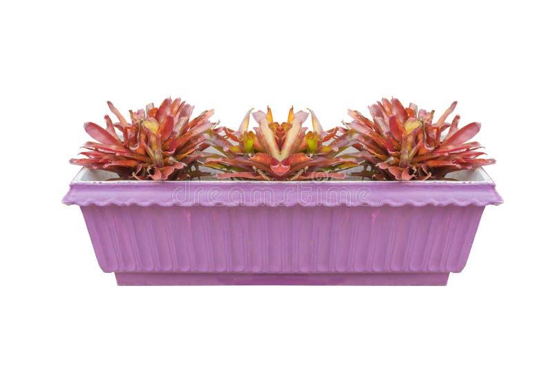 Bromeliácea da planta da jardineira fotos de stock