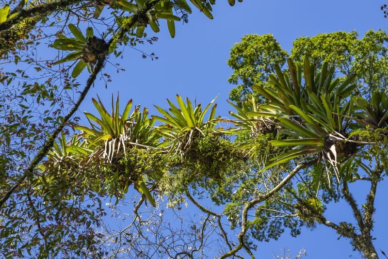 Bromeliácea plantada na árvore Árvore para a decoração do jardim Detalhe de parte superior da árvore, com as bromeliáceas que cre imagens de stock royalty free