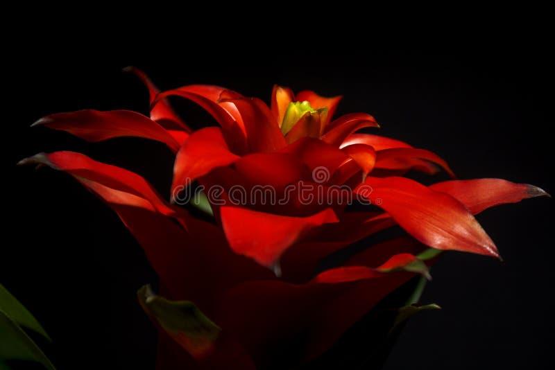 Bromelia stock image