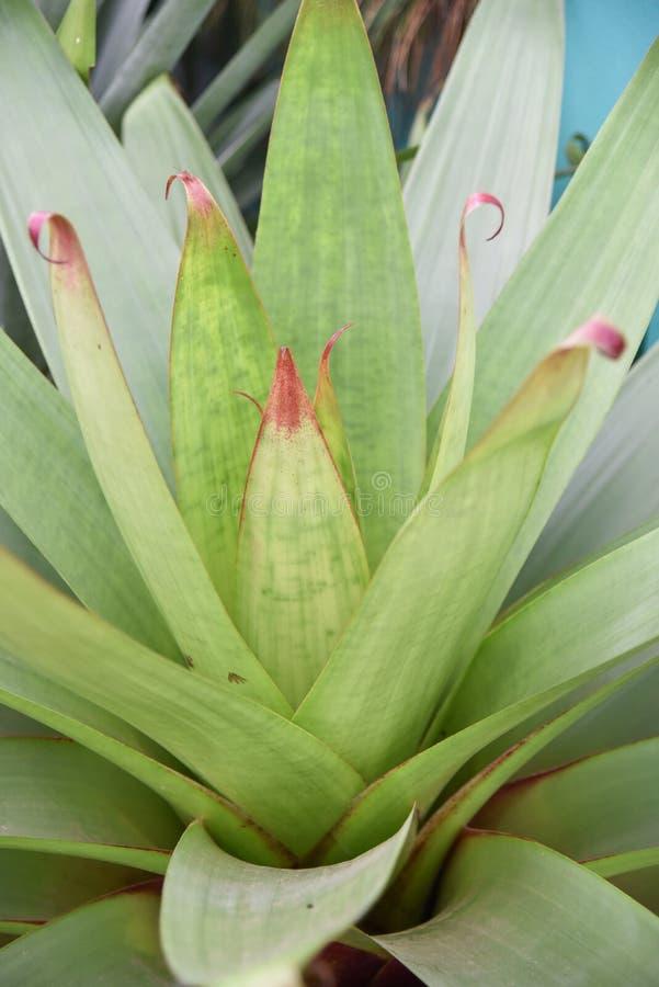 Bromelia de la planta fotografía de archivo