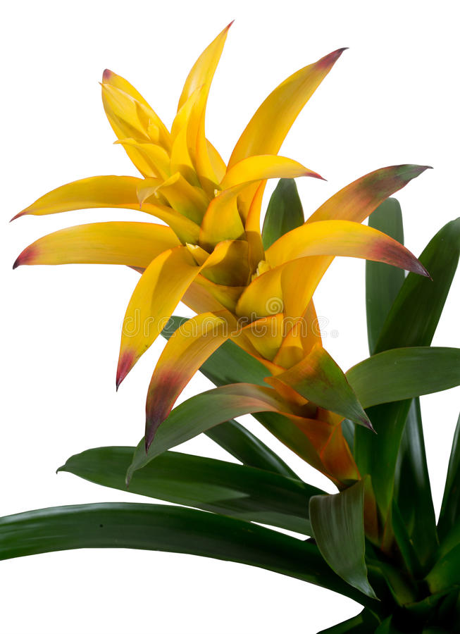 Bromelia guzmania yellow detail royalty free stock photo