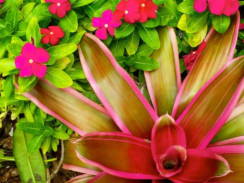 Bromelia i livliga tropiska färger royaltyfri fotografi