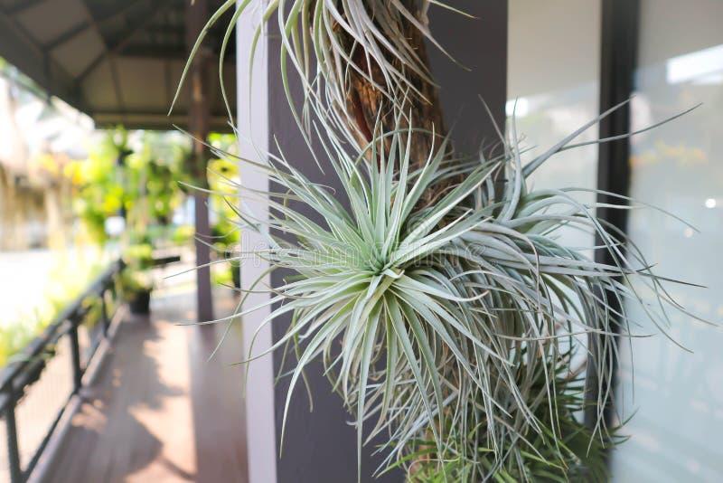 Bromelia, planta de la urna imagenes de archivo