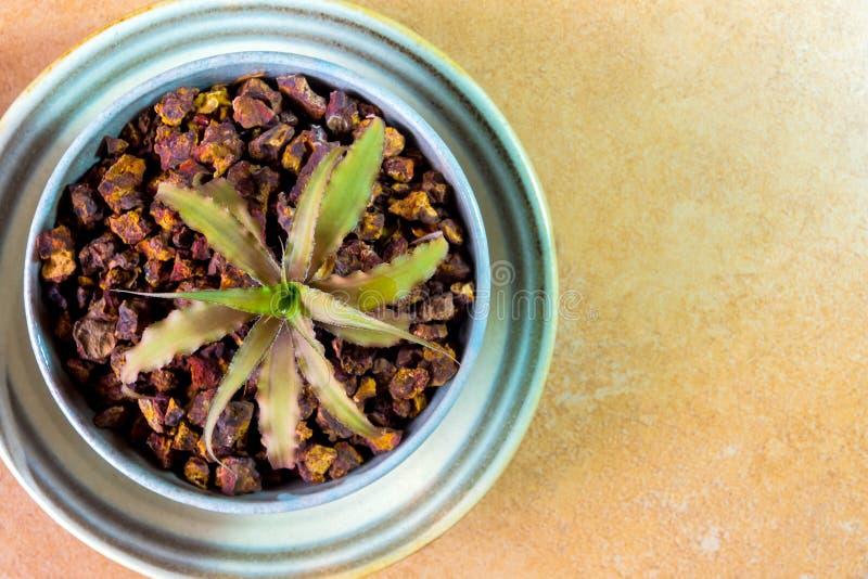 Bromelia que crece en el pequeño pote de cerámica fotos de archivo