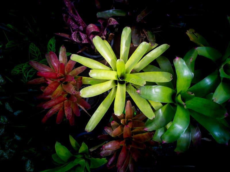 Bromelia que crece en la vaina foto de archivo libre de regalías