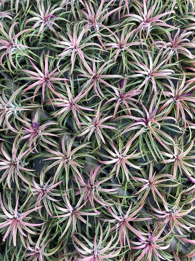 Bromeliacea nel giardino fotografia stock