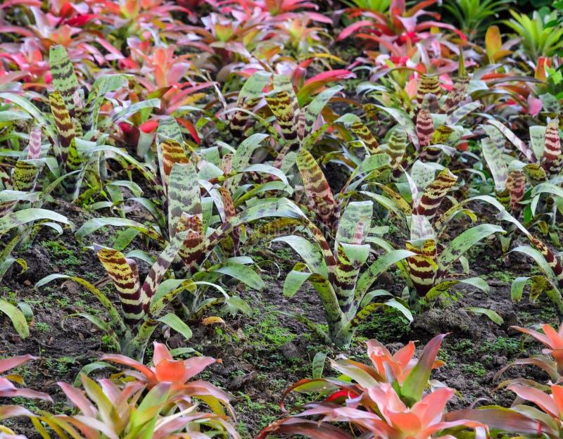 Bromeliad植物 免版税库存图片