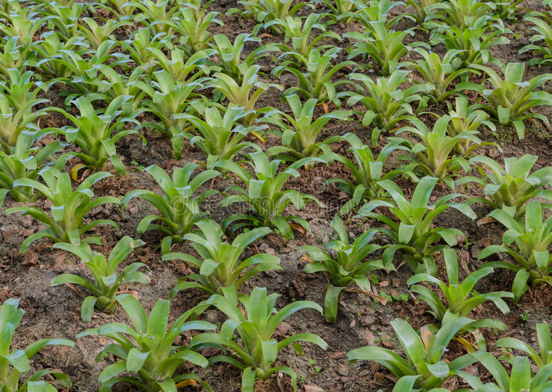 Bromeliad植物 免版税图库摄影