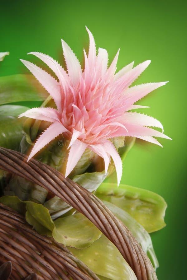 Bromeliad stock images