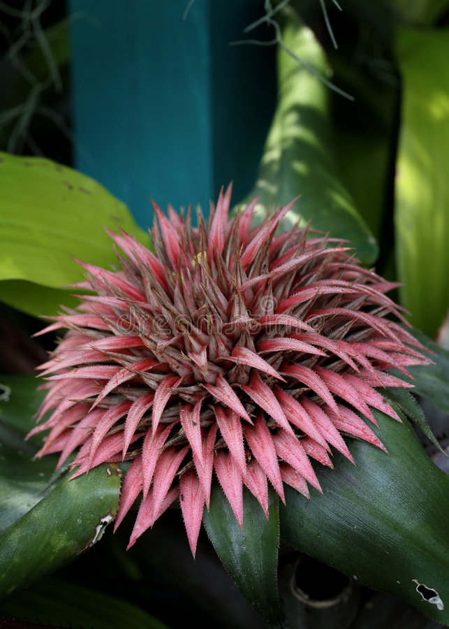 Bromeliad stock photography