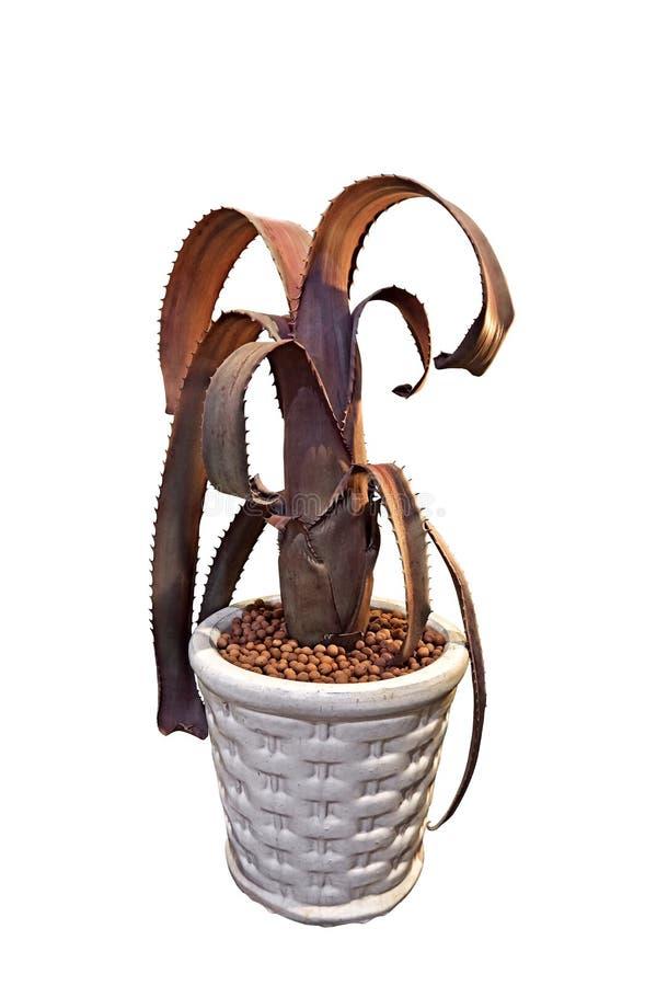 Bromeliad, Aechmea Tocantina na Białym tle, ścinek ścieżka zdjęcie royalty free