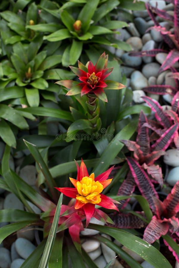Bromeliad blomma arkivbilder