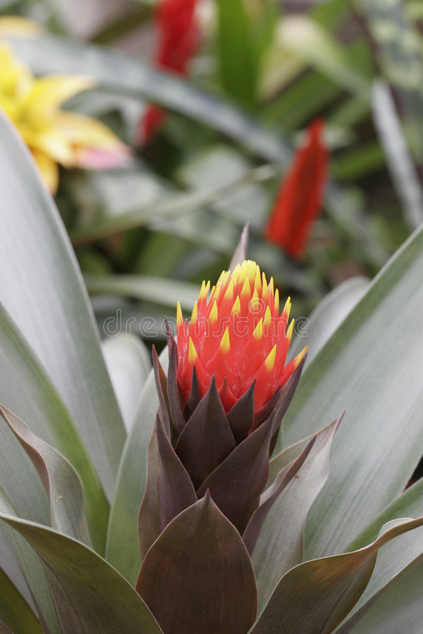 Bromeliad in Bloom stock photography