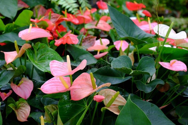 Bromeliad cor-de-rosa imagens de stock royalty free