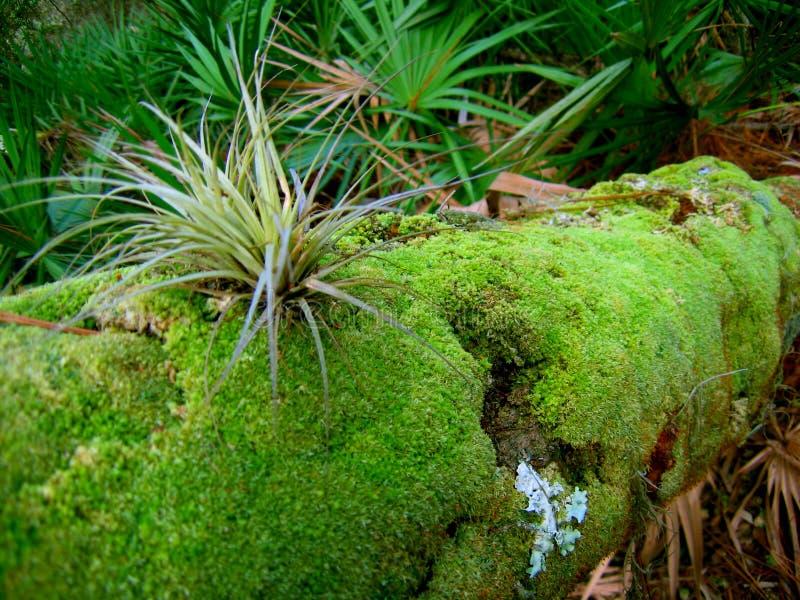 Bromeliad de Florida foto de stock royalty free