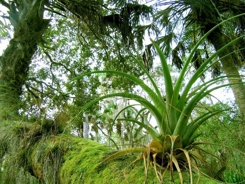 Bromeliad de Florida imagem de stock royalty free