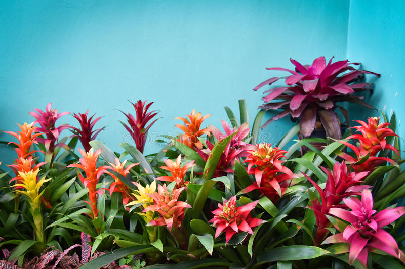 Bromeliad flower. In a flower farm royalty free stock images