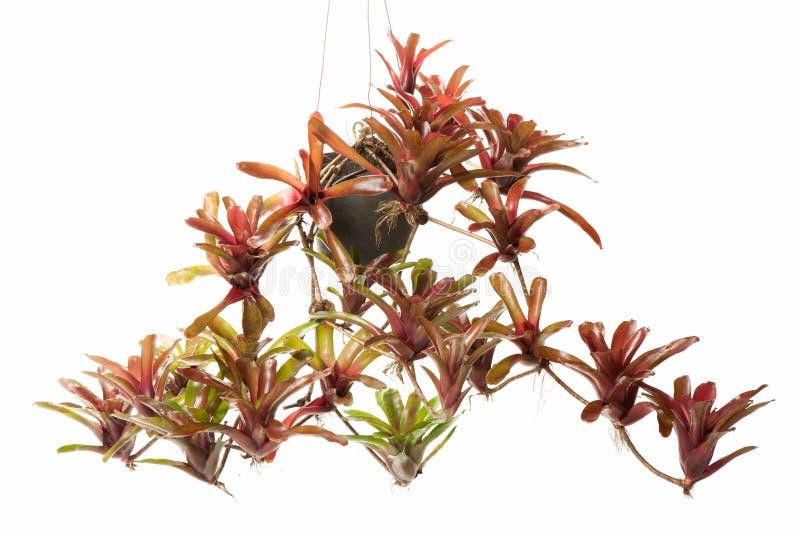 Bromeliad in flowerpot stock images