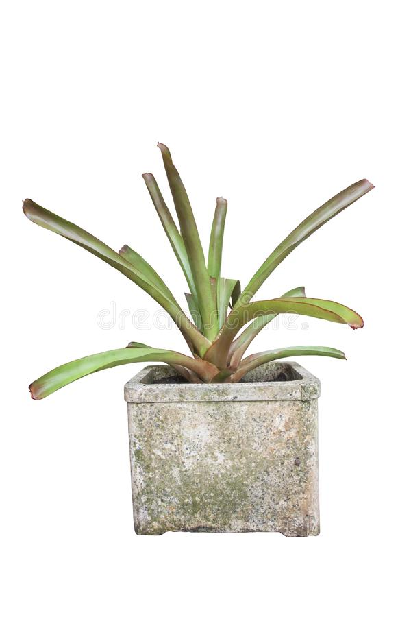 Bromeliad or Urn Plant in pot isolated on white background royalty free stock photography