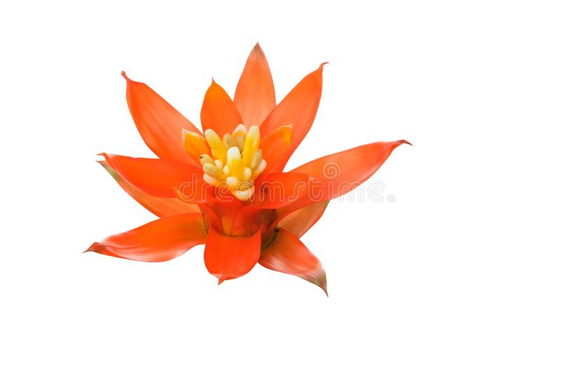 Bromeliads花红色美丽自然在被隔绝的白色背景科学名字Guzmania ligulata 免版税图库摄影