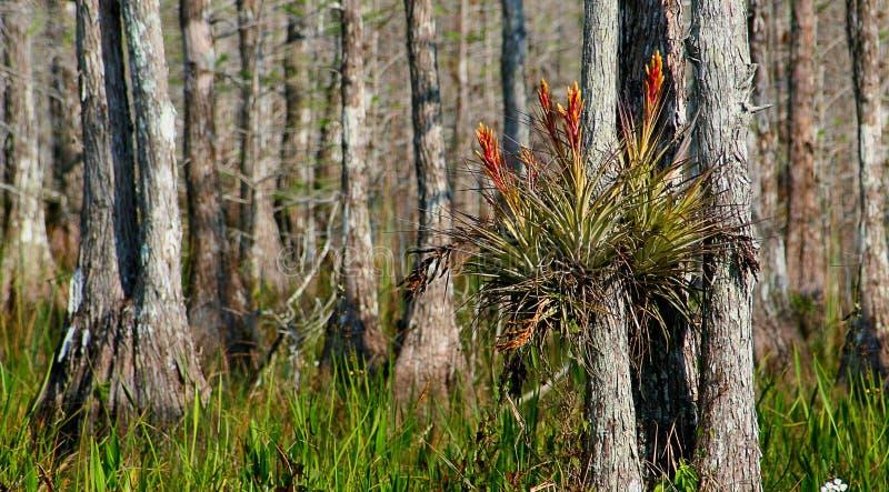 Bromeliads σε ένα δάσος κυπαρισσιών στοκ εικόνα