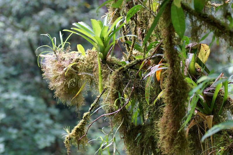 Bromeliads и мох растя на branchs дерева, тропический лес, Коста-Рика стоковое изображение