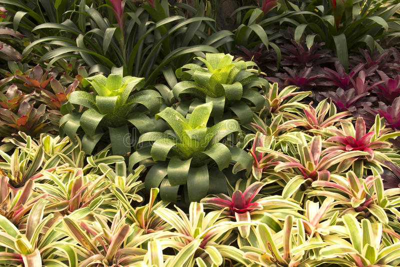 Bromeliads сада стоковые фотографии rf