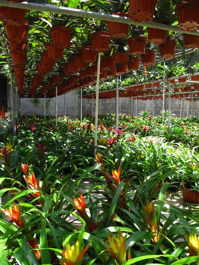 Bromeliads en invernadero foto de archivo libre de regalías