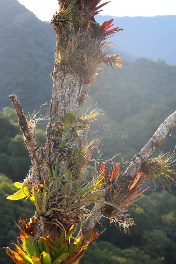 Bromeliads growing on a tree in the cloud forest jungle - Flowers that grow on tree trunks ...