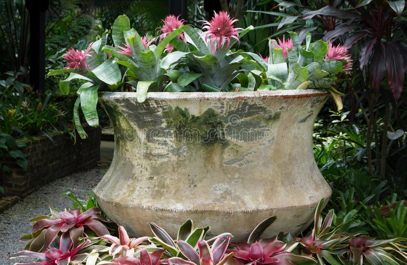 Bromeliads plants growing in big flowerpot at the garden. Background royalty free stock photography