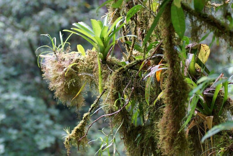 Bromelias y musgo que crecen en branchs de un árbol, selva tropical, Costa Rica imagen de archivo