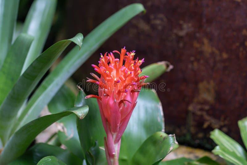 BromeliaVriesea för selektiv fokus tropisk växt Stäng sig upp av den röda bromeliablomman eller Aechmea arkivfoto