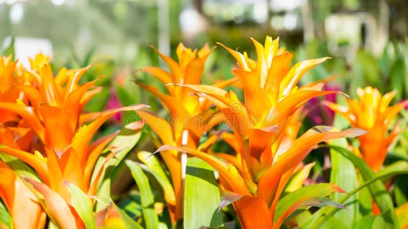 Bromelieblume, Guzmania lizenzfreies stockbild