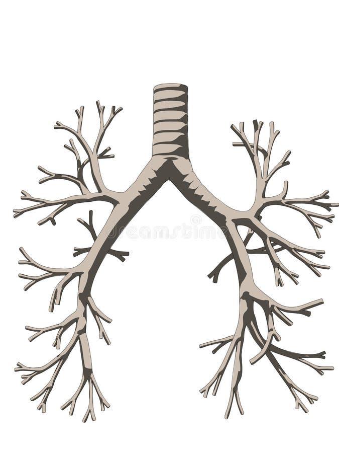 Bronchiën vector illustratie