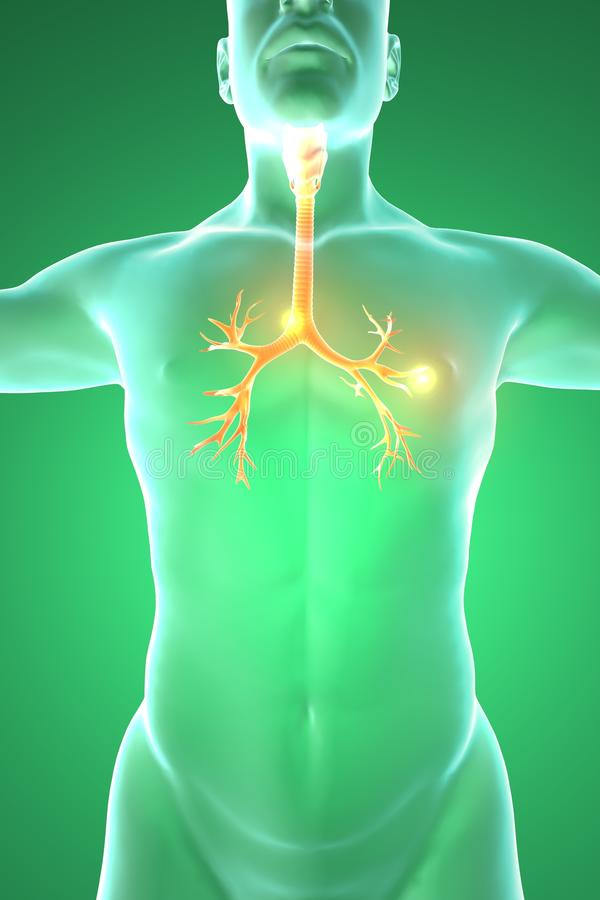 Bronchie, het menselijke lichaam, mens stock illustratie