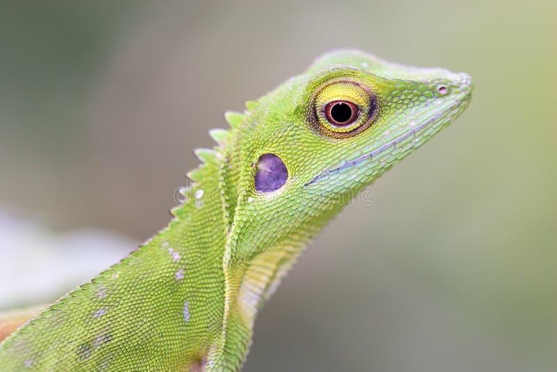 bronchoc zielona czubata jaszczurka obrazy stock