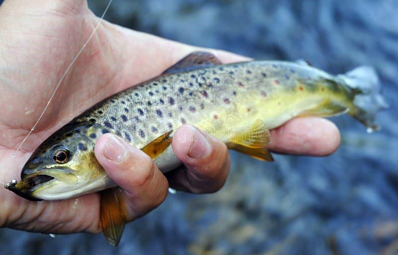 Bronforel in de rivier van Karelië door vlieg die te vissen wordt gevangen royalty-vrije stock fotografie