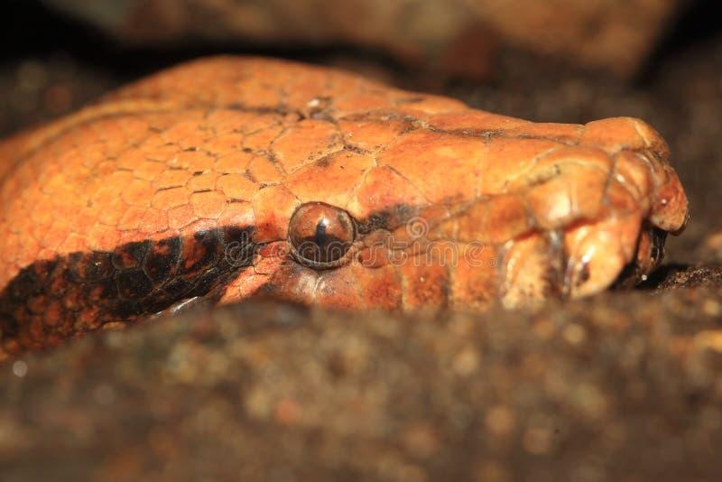 Brongersma court-a coupé la queue le python photos libres de droits