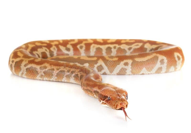 Brongersmai de python dans le studio photos libres de droits