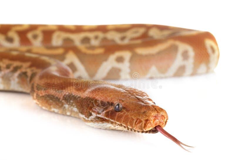 Brongersmai de python dans le studio photo libre de droits