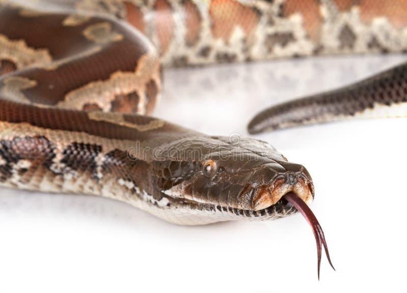 Brongersmai de python dans le studio photo stock