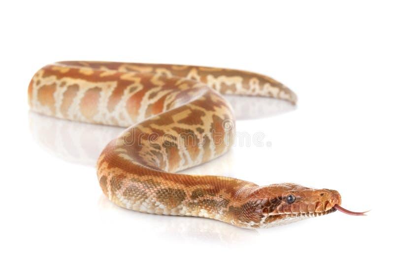 Brongersmai de python dans le studio photos stock