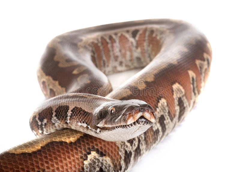 Brongersmai de python dans le studio images libres de droits