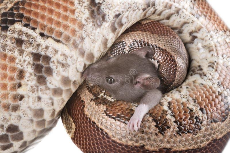 Brongersmai de python dans le studio photographie stock libre de droits